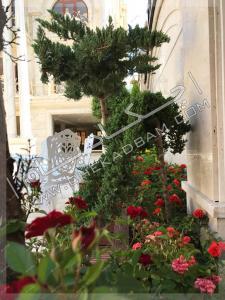 گل و گیاه باغچه حیاط گل ساناز کاج ستاره ای کامیس پاریس